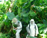 In the gardens of the island where giant taro is struggling to grow, due to salinisation of the soil